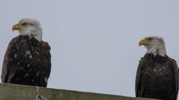 If you're lucky you may spot a bald eagle during the Christmas Bird Count in Stanley Park.
