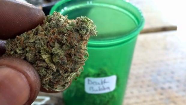 Sorting medical marijuana at Kind Supply.