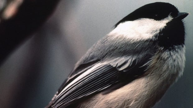 Researchers found that chickadees's melodies varied not only geographically, but also by gender.