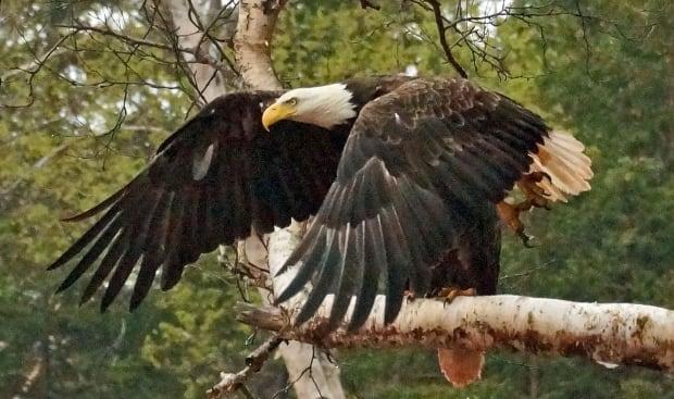 Lorne Kelly bald american eagle