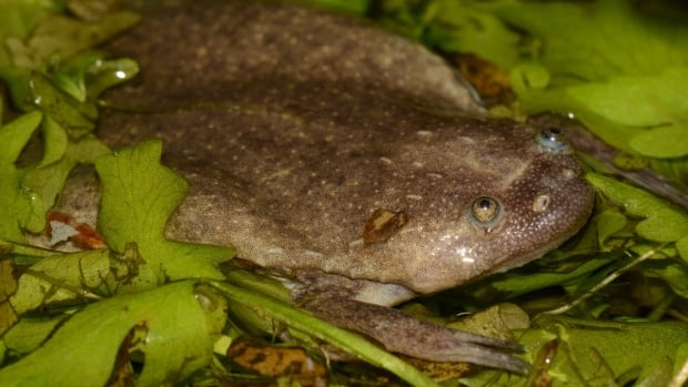 This is an African clawed frog from the species Xenopus calcaratus. Even species that are quite distantly related tend to look very similar.