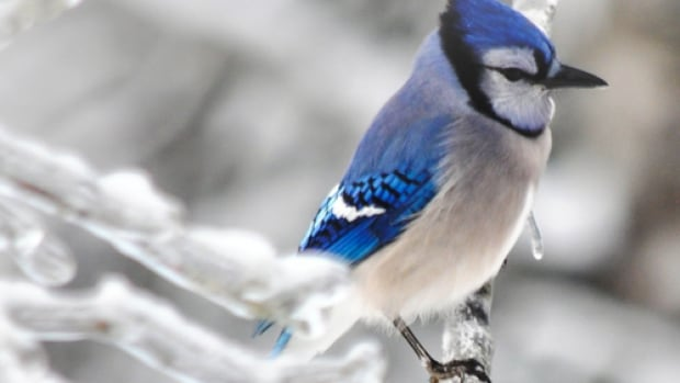 A blue jay on a winter morning in Black Rock, N.S.
