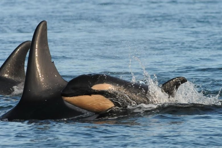 Anglers' plan to feed endangered B.C. orcas given green light, but met with some criticism