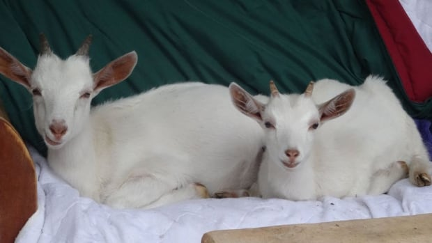 These two cuties recently became members of of SALI's Farm in Surrey, B.C.