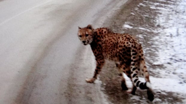 Creston RCMP released a series of photos of a cheetah wandering along Highway 3A near Kootenay Bay. They were taken by a passing motorist Thursday afternoon.