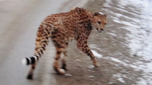 This cheetah was spotted wandering on the side of Highway 3A, northeast of Nelson, B.C., last year.