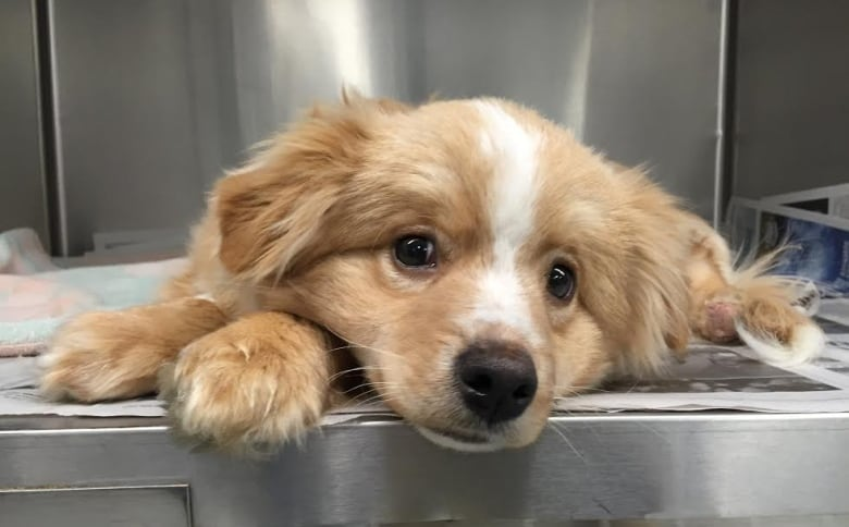 pup with crushed paws brought to winnipeg humane society for surgery rh cbc ca hernia surgery for puppy cost surgery for persistent pupillary membrane