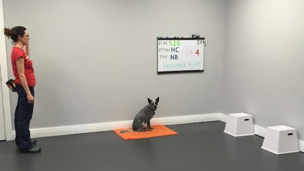 Jenny McKee,  a dog trainer at Clever Canines in Calgary, works with a dog who is trying to find a box that contains a breath sample of a person with cancer — or someone at high risk for getting cancer.