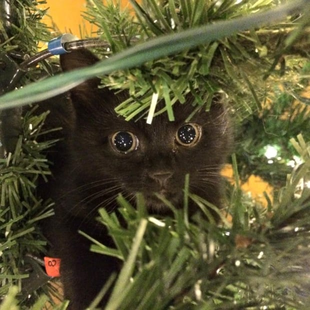Pauly the cat in a Christmas tree