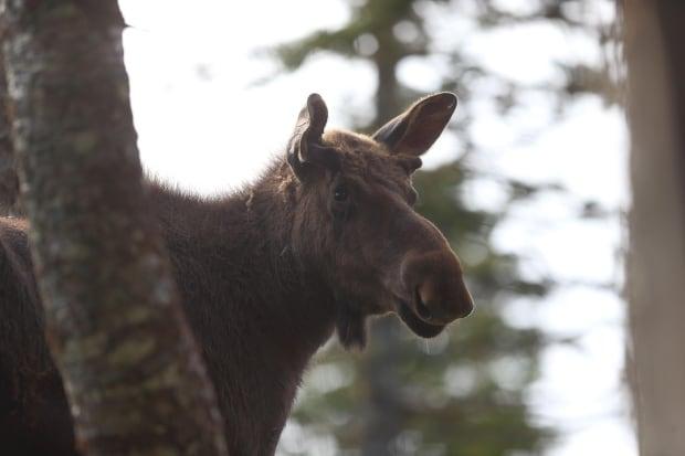 Moose sex corridor 2