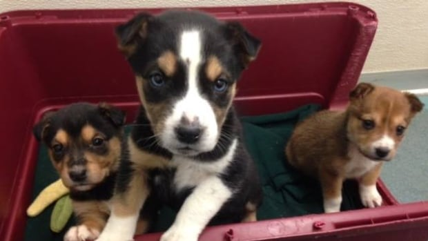 Just three of the latest dogs to take up residence at the Fort McMurray SPCA shelter.