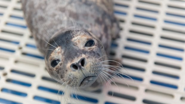 The Vancouver Aquarium says Maelle the seal pup is well on her way to recovery.