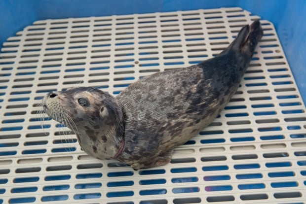 Maelle seal pup
