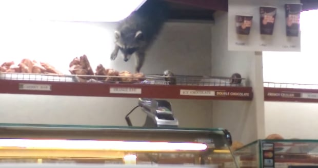 raccoon-doughnut-thief