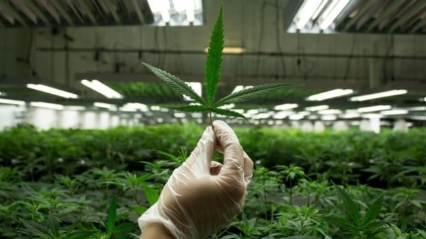 Canada's marijuana industry is expected to grow three times the size in as many years. Companies hoping for seed money will go before investors in Toronto for a 'Dragon's Den' style pitch session.