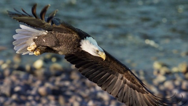 A bald eagle soars along the Squamish River in Brackendale, B.C.