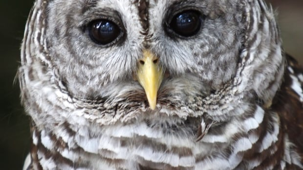 Look out below! Delta police issued a warning Friday after three people were dive-bombed by owls in Tsawwassen.