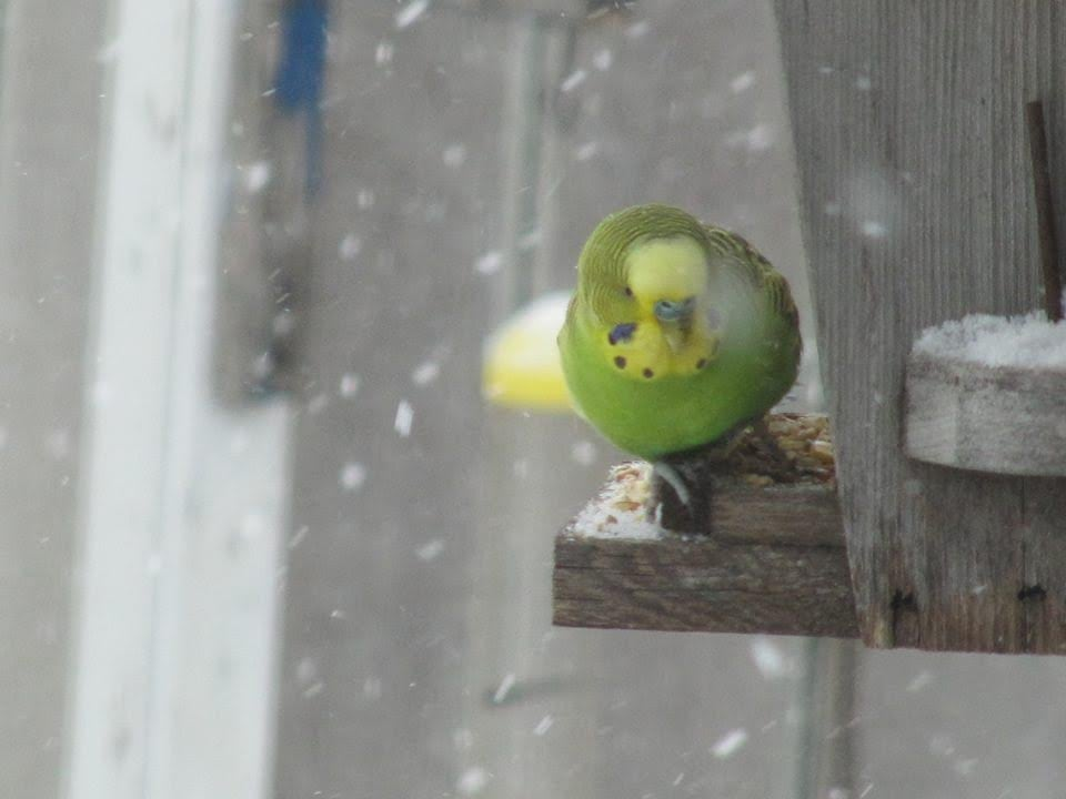 Budgie rescued after weeks spent outside braving Winnipeg