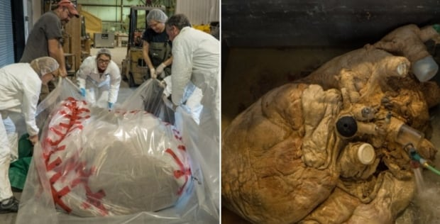 Wrapping up a blue whale heart