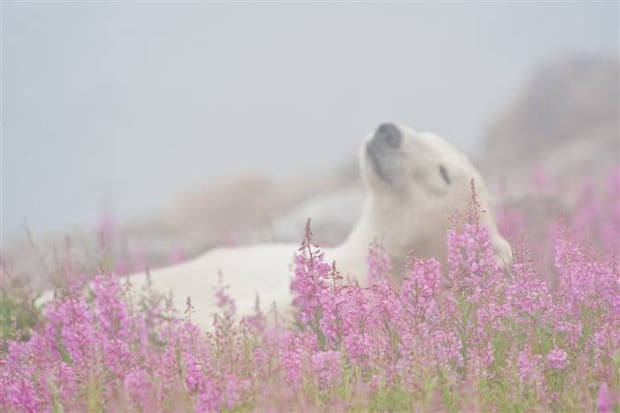 Dennis Fast polar bear