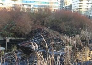 Olympic Village beaver dam