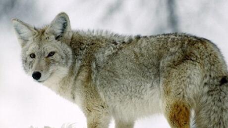 Alberta coyote