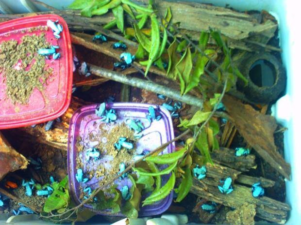 Light blue poison dart frog