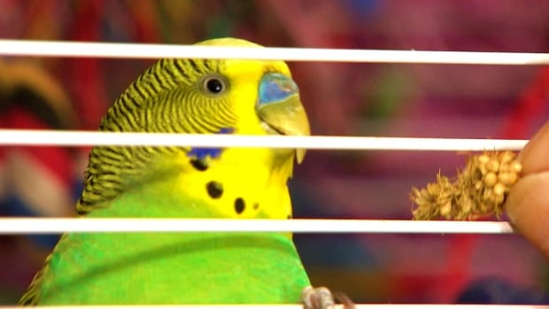 RAW: The budgie, nicknamed MacGyver now speaks sparrow