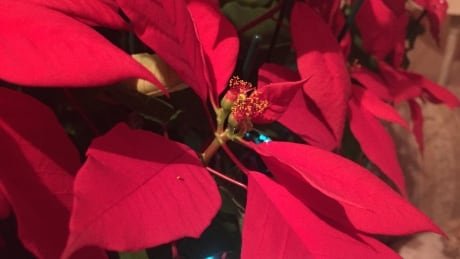 Poinsettias and other Christmassy plants can keep up festive spirit year-round