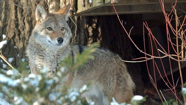 A group called the Association for the Protection of Fur-Bearing Animals is calling on the Alberta government to put a stop to a coyote killing contest scheduled for this weekend.