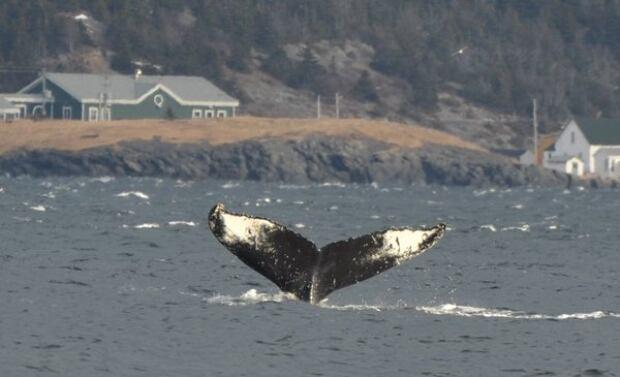 Whale Bonne Bay
