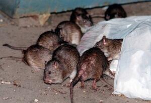 Superstorm Rats