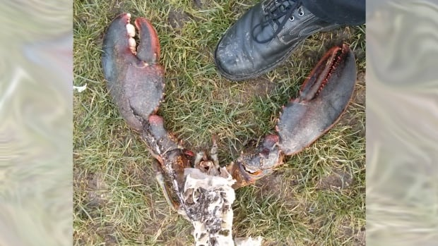 The large lobster carcass was found washed up in New Brighton Park in Vancouver by Damon Gudaitis, whose size 11 shoe is pictured alongside the claws.