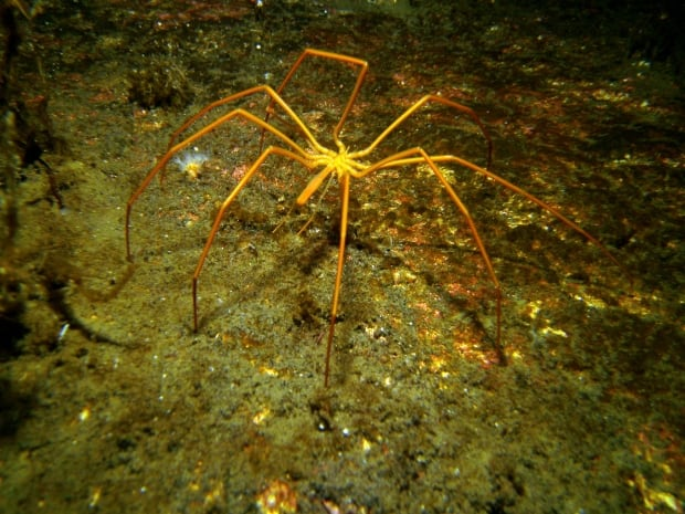 Giant sea spiders