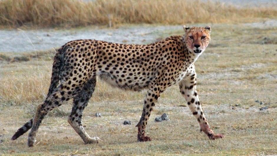 A Cheetah (Acinonyx jubatus raineyii) walking at Ngorongoro Crater, Tanzania.