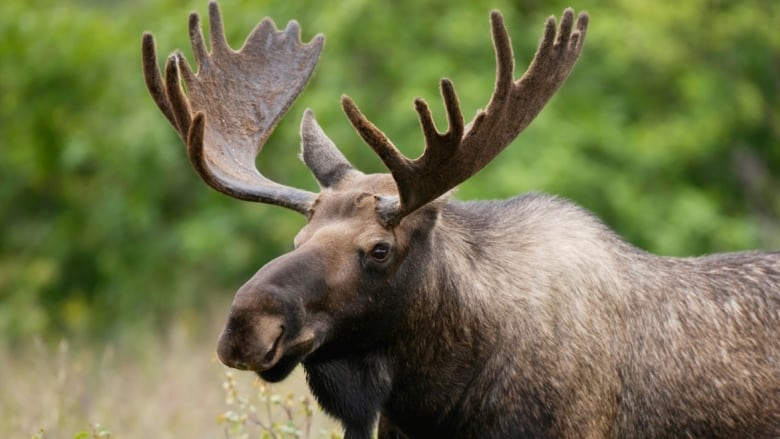 Moose tags in Thunder Bay district cut again by OMNRF | CBC News