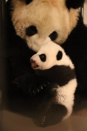 panda cub and mom er shun 12 weeks old