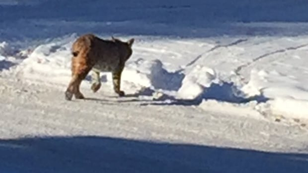 Another photo of the bobcat that was spotted roaming the streets of Calgary's Britannia community on Jan. 8, 2016.