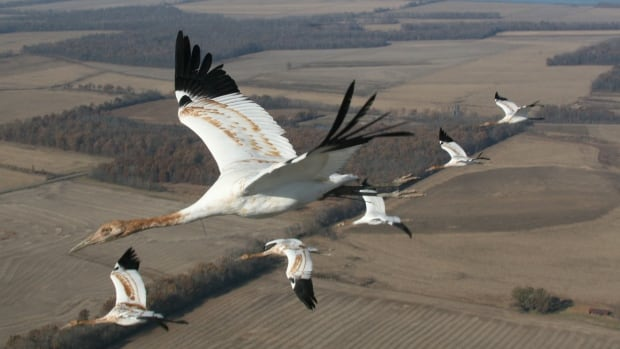 Whooping cranes migrate from Wood Buffalo National Park to the U.S. Gulf Coast. Conservationists worry they're running out of places to rest along the way.