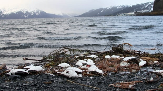 Dead common murres lie washed up on a rocky beach in Whittier, Alaska, on Jan. 7. Federal scientists in Alaska are looking for the cause of a massive die-off of common murres, one of the Arctic's most abundant seabirds.