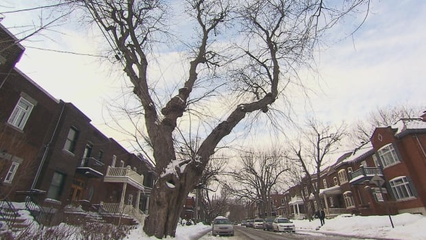 The silver maple towers over the houses that line Old Orchard Avenue and takes up space on its sidewalk.