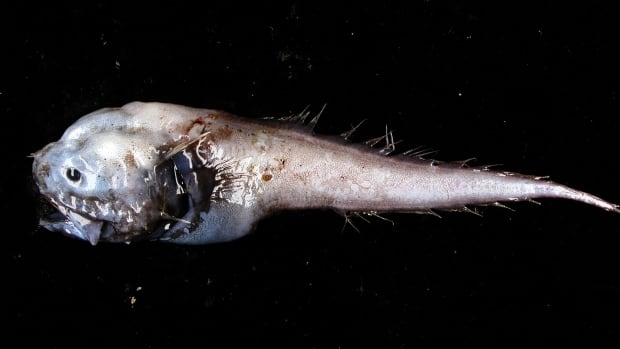 Don't expect the assfish to win any fish beauty contests.