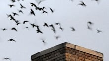 Chinmey swifts entering chimney