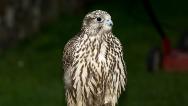Griffin, a one-year old gyr falcon, has been missing since Tuesday, says Manady MacDiarmid, who runs a bird abatement business, Schuswap Birds of Prey.