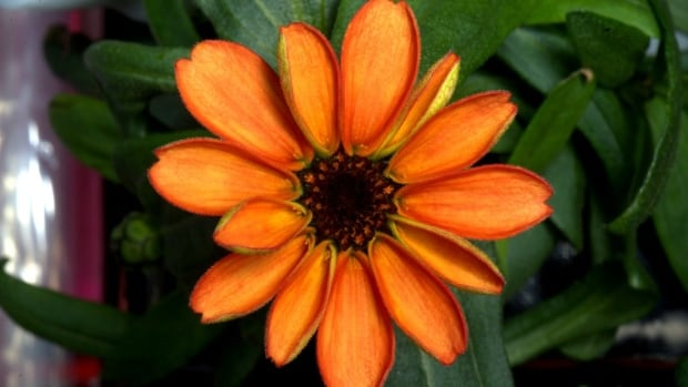 U.S. astronaut Scott Kelly tweeted a photo of his orange success, a zero gravity salad-worthy zinnia from the International Space Station's veggie lab.
