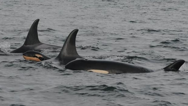 New orca calf J55 was spotted near Puget Sound on Monday.