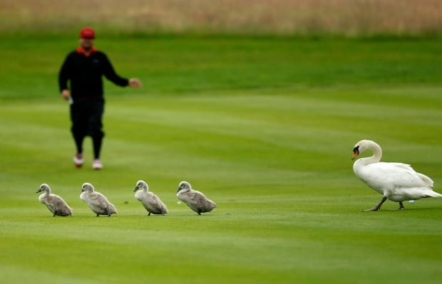 Swan family at golf open