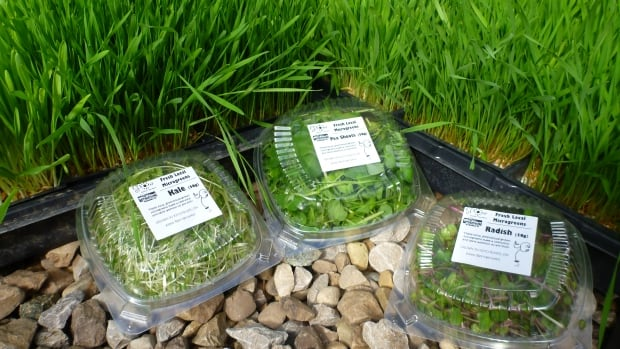 The Working Centre in Kitchener is offering CSA shares for fresh, locally grown microgreens and wheatgrass for this first time this winter.