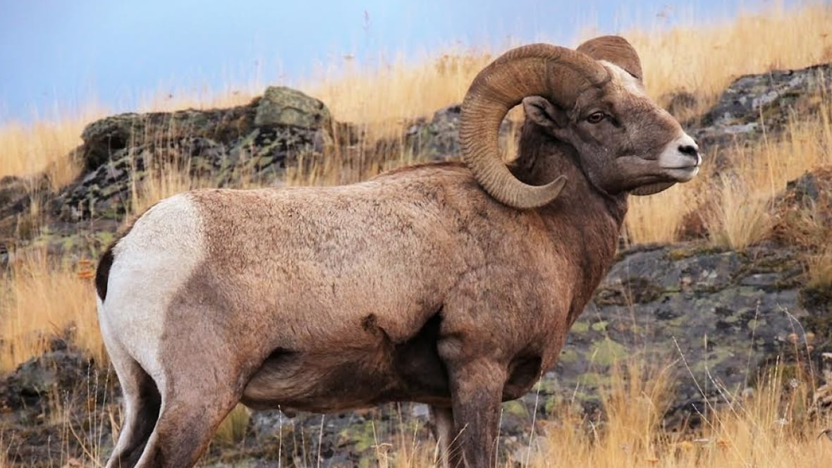 Ram Big Horn >> Trophy hunting stunting the horns of Bighorn sheep, study ...