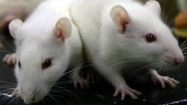 Insights gained from turning rats into problem gamblers may one day help humans with gambling addictions.